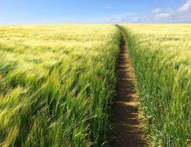 Beautiful walks through wheat fields